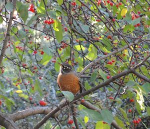 American Robin, Central Park 2014