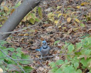 Blue Jay, Central Park 2014