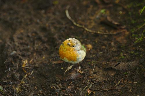 Rotkehlchen, Tobermory