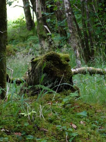 Waldfrosch, Loch Aline