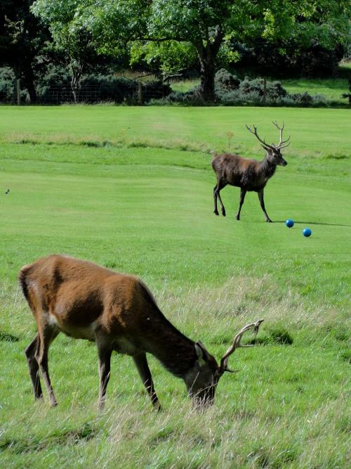 Rotwild in Lochranza